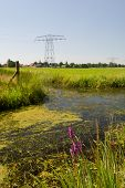 Purple Loosestrife near ditch in Dutch landscape