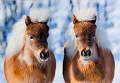 in winter two cute ponies