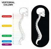 Vertebral Column (Spine) Diagram including Vertebra Groups ( Cervical, Thoracic, Lumbar, Sacral ) -