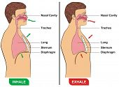 Respiration (Inhalation & Exhalation)