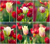 Tulips Field Set