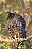 Perched Black Vulture