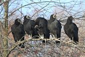 Flock Of Black Vultures
