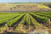 Row Of Fresh Vines In The Columbia Gorge Or.