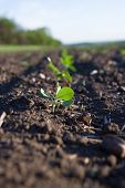stock photo of rich soil  - Crops planted in rich soil get ripe under the sun fast - JPG