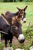 foto of headstrong  - View of two Donkeys grazing in the meadow - JPG