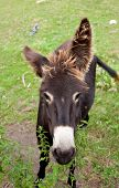 stock photo of headstrong  - View of a Donkey grazing in the meadow - JPG