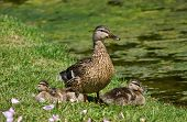Mallard duck (Anas platyrhynchos) with ducklings