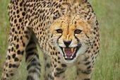cheetah snarl