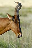 Portrait Of A Red Haartebeest