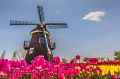 stock photo of wind-farm  - colorful tulips and mill in netherland fields - JPG