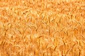 Field With Beautiful  Golden Spikelets