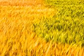 Field With Golden And Green Spikelets