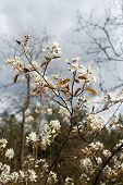 stock photo of vd  - Close up from White blossom in wild tree - JPG