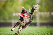 Border Collie Dog trae el disco volador