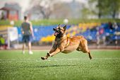 Belgian Shepherd Dog Running