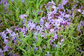 Flower Bed With Blooming Scilla Flowers