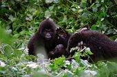 Mountain Gorilla Family