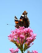 Red admiral butterfly perched on a pretty pink flower