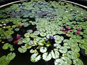 Water lilies on circular pond