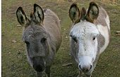 stock photo of jack-ass  - donkeys or jack asses - JPG