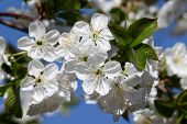 Flowering pear branches