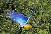 Blue Yellow Macaw / Ara Parrot In Flight
