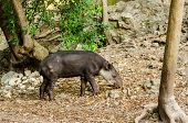 picture of tapir  - View of a tapir in Chiapas Mexico - JPG