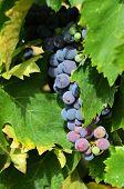 Chianti grapes in vineyard - Toscana, Italy