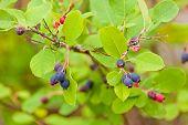 Ripe Blue Saskatoon Berries Amelanchier Alnifolia