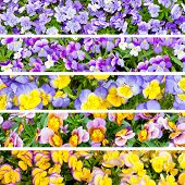 Collage Of Pansies Flowers.