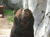 Bear In Deep Thought