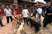 Animal, goat sacrifice in Nepal