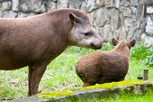 foto of tapir  - portrait of two South American Tapir Tapirus terrestris anta