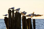 Gulls On Groynes In The Surf On The Polish Baltic Coast