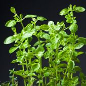 Closeup Of Fresh Basil