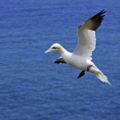 picture of gannet  - A Portrait of an adult Northern Gannet  - JPG