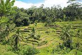 Terraced Rice Fields in Bali Indonesia