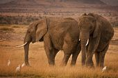 Two elephants with cattle egrets