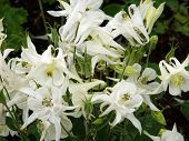 White Columbine Flowers