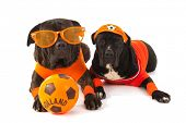 Dogs as Dutch soccer fans in orange with ball isolated over white background
