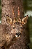 stock photo of roebuck  - a male roebuck after having rubbed his antlers - JPG