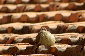 Fluffy Young Bird Twittering On An Old Brick Roof