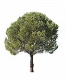 Isolated Pine-tree