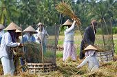 Rice Threshing In Bali, Indonesia