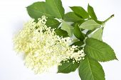 Elderflower, Sambucus Nigral