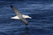 Wandering Albatross Hovering Over The Blue Surface Of The Atlantic Ocean 1