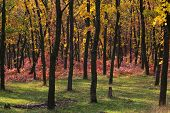 stock photo of dnepropetrovsk  - Majestic autumn forest of the Dnepropetrovsk - JPG