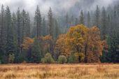 Lonely Oak In Rainy Meadow