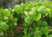 Sea Grapes At The Beach